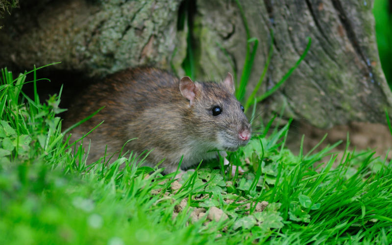 A common brown rat in a garden