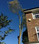 Square thumb surrey tree surgeons   london plane tree   during