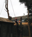 Square thumb surrey tree surgeons   conifer removal