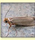 Square thumb clothes moth