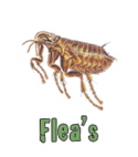 Square thumb flea