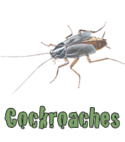 Square thumb cockroaches