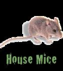 Square thumb mice
