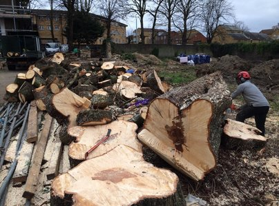 Primary thumb big chestnut felled chainsawing