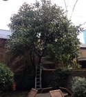 Square thumb magnolia grande flora before pruning