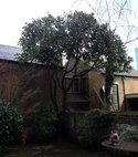 Square thumb magnolia grande flora after pruning