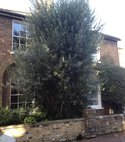 Square thumb olive tree b4