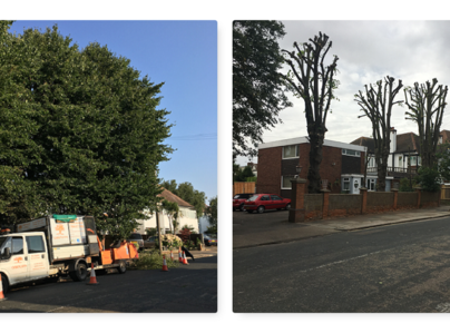 Primary thumb 3 lime trees prior and after pollard