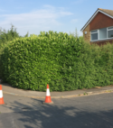 Square thumb hedge before works carried out