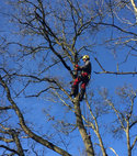 Square thumb guildford tree surgeons tree removal wimbledon aquamaintain