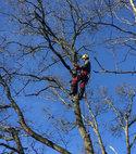 Square thumb guildford tree surgeons tree removal wimbledon aquamaintain